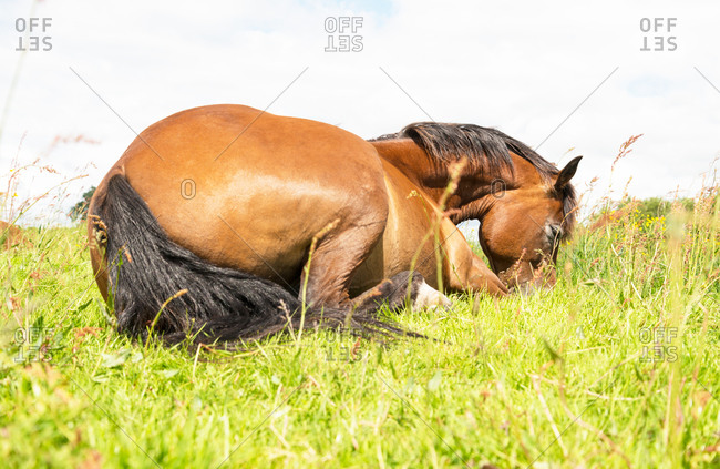 A brown horse sleeping in the grass. New Forest, Hampshire