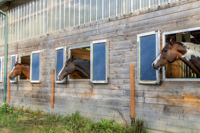 Horses peeking out of a barn