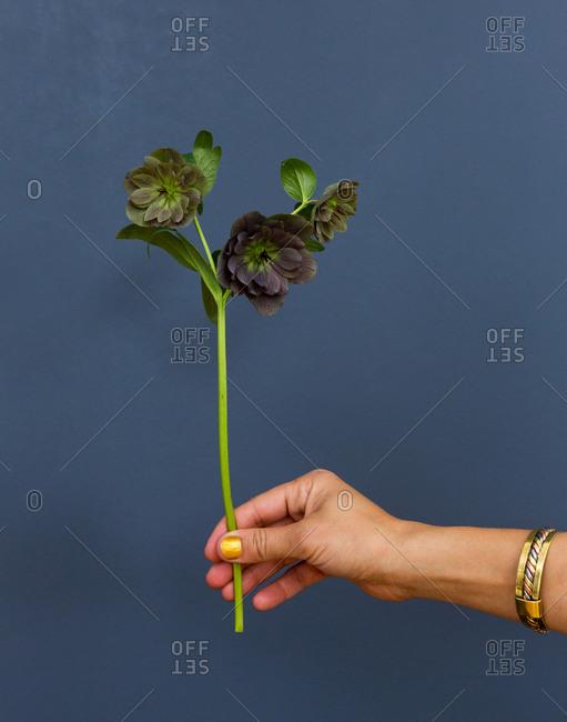 Woman's hand holding a hellebore flower stem