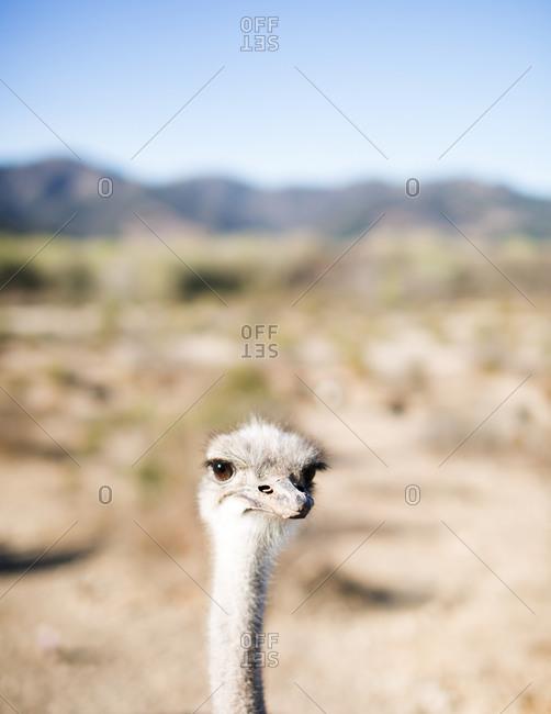 An ostrich at a farm in California, USA