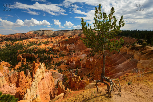 The Walking Tree at Sunrise Point in Bryce Canyon National Park, Utah
