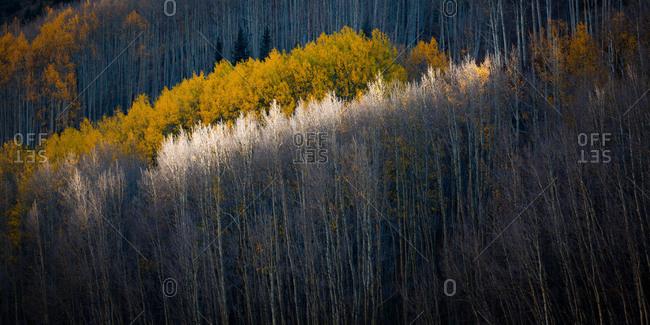 Aspen forest in autumn near Crested Butte, Colorado