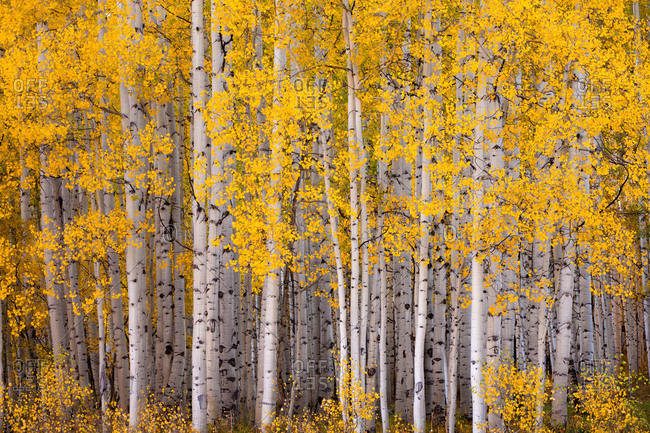 Aspen forest in Kebler Pass near Crested Butte, Colorado