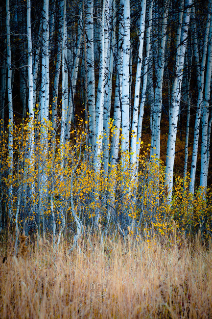 Young aspen trees in Kebler Pass near Crested Butte, Colorado