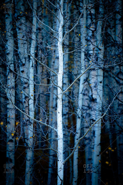 Bare aspen trees in Kebler Pass near Crested Butte, Colorado
