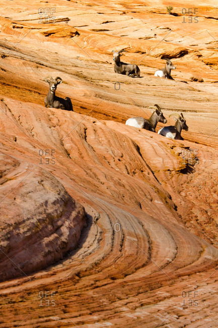 A herd of Desert Bighorn Sheep in Zion National Park, Utah, USA