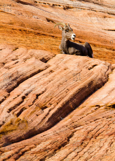 Desert Bighorn Sheep at Zion National Park in Utah, USA