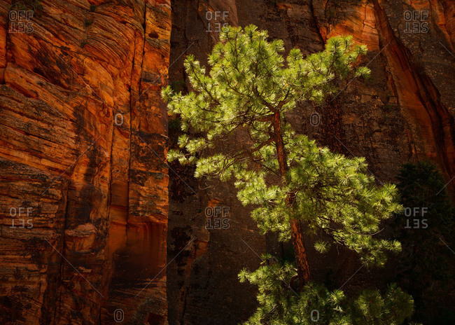 Ponderosa pine tree at Zion National Park, Utah, USA