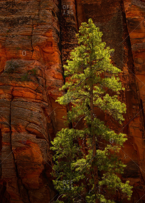 Ponderosa pine tree on the east side of Zion National Park, Utah, USA