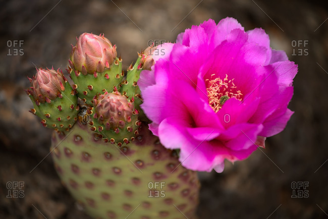 Prickly pear cactus flower in spring at Zion National Park in Utah, USA