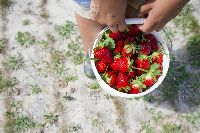 Overhead shot of a child holding a pail full of fresh-picked strawberries
