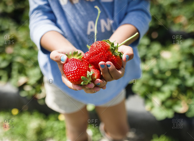 Girl's hands holding two enormous strawberries