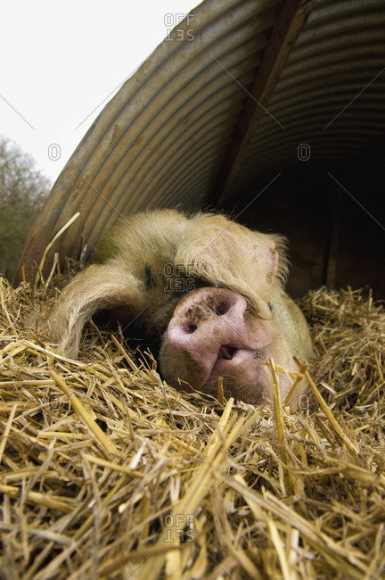 A large pig lying down under a pig ark shelter, in deep straw bedding