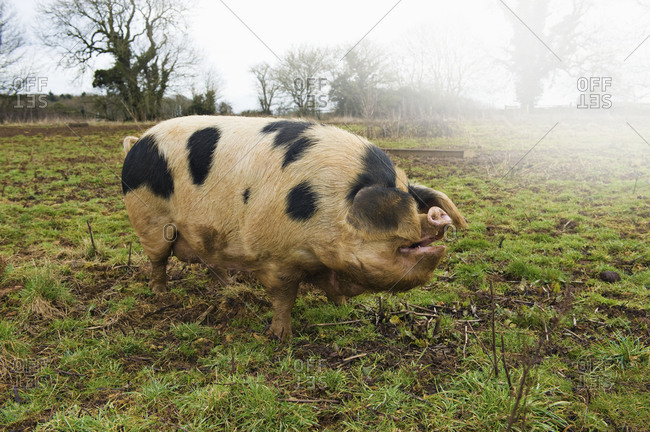 A large adult pig with black markings in an open field