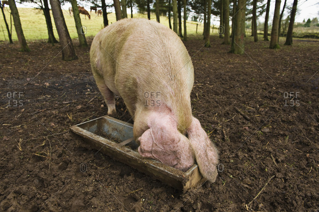 A large pig feeding at a trough in a field