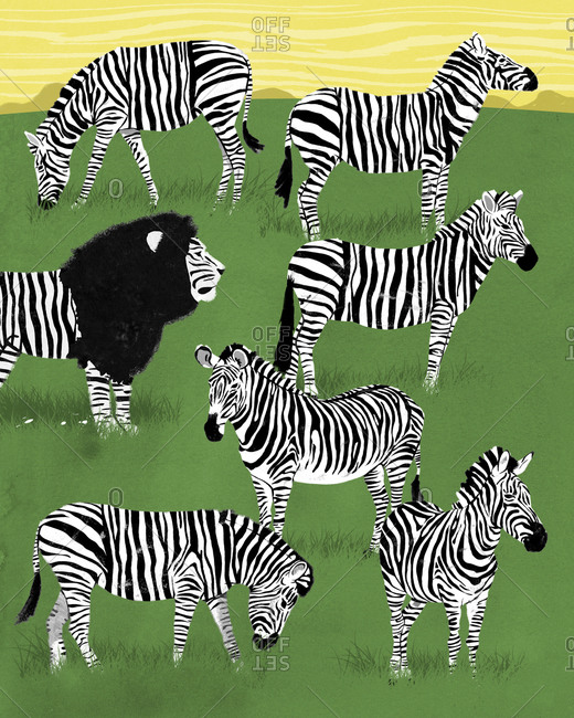 Lion disguised as a zebra