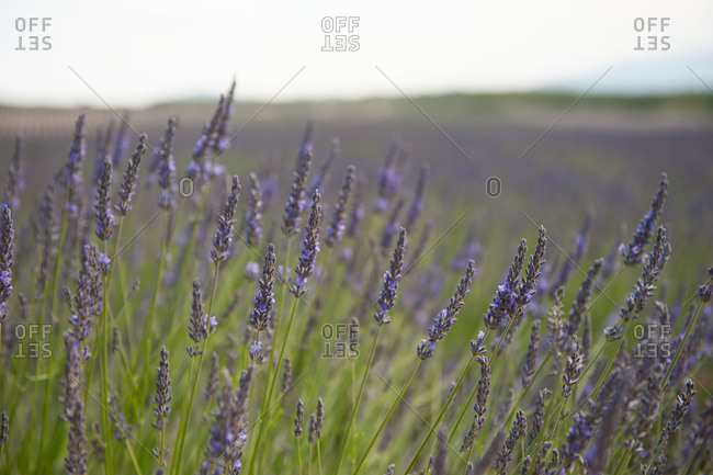 Fields of lavender in the south of France