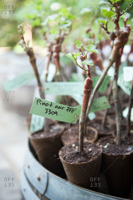 Pinot noir grape seedlings