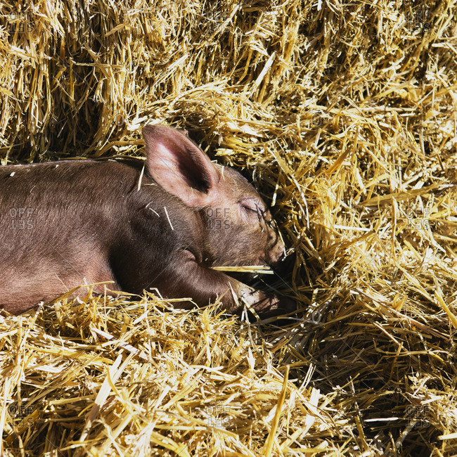 Brown farrow sleeping on straw