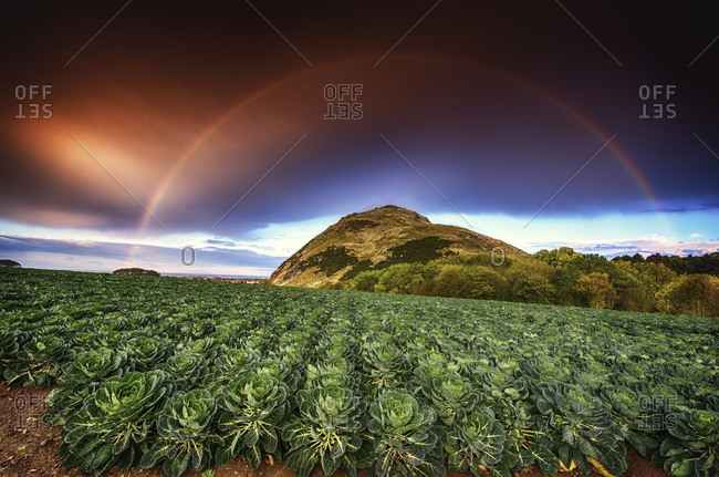 Rainbow over a field of Brussels sprouts