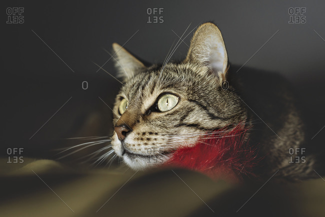 Tabby cat with furry toy watching something