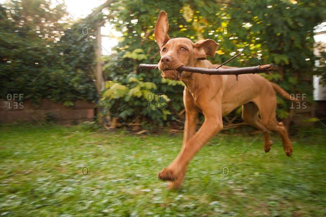 Vizsla puppy running with a stick