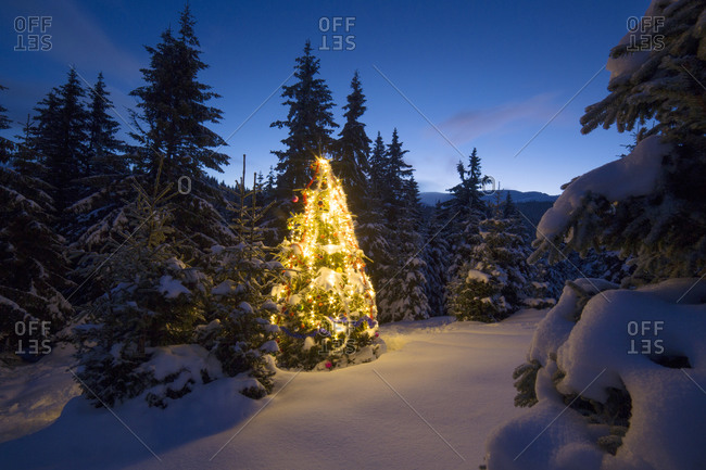 Pine tree in winter glowing with lights