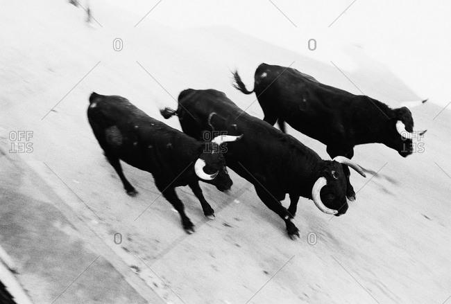 Bulls running through Spanish town