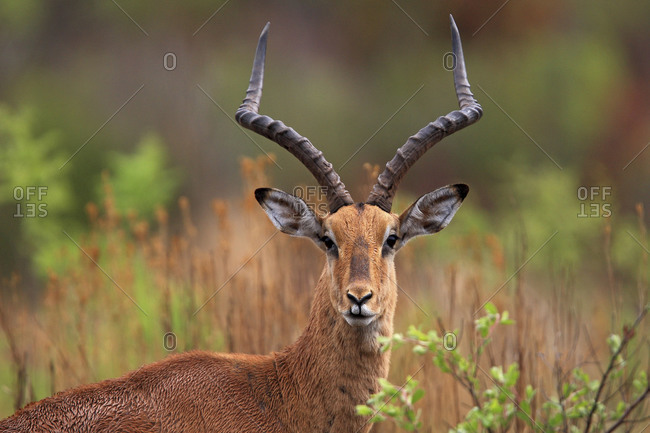 A male impala in the Savanna