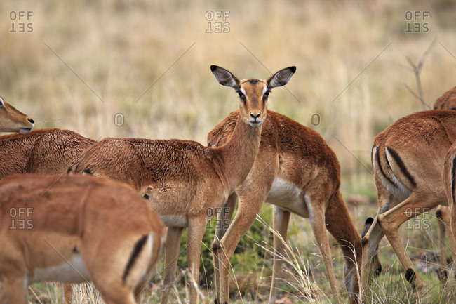 Group of female impalas grazing in the savanna