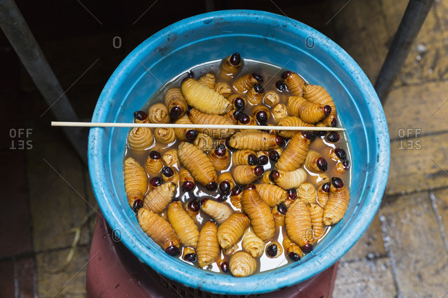Larva of trunk beetle ready to be grilled, Ecuador