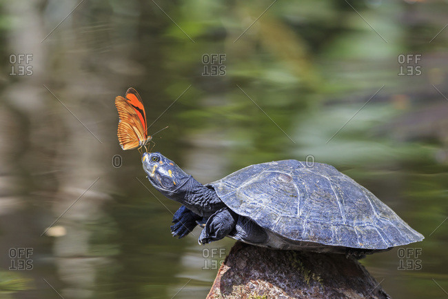 Julia butterfly on the nose of a yellow-spotted river turtle, Amazon River, Ecuador