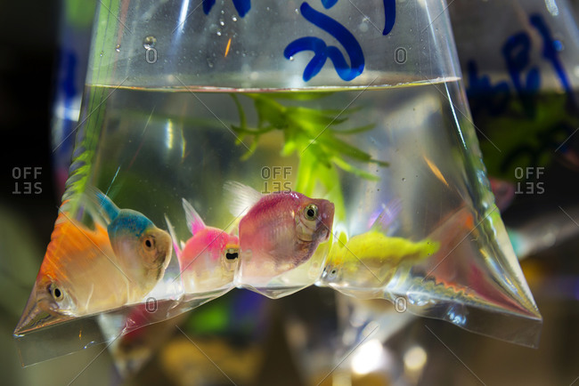 Fish in a plastic bag at a fish market, Hong Kong