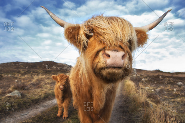 Highland cattle with calf at Laide, Scotland