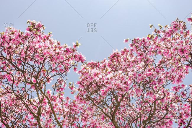 A magnolia tree in bloom in Seattle, Washington