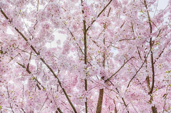 Light pink cherry tree blossoms, Seattle, Washington