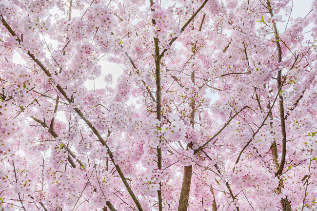 Light pink cherry tree blossoms, Seattle, Washington
