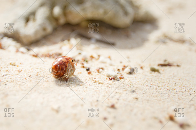 A hermit crab cautiously peers out from his shell