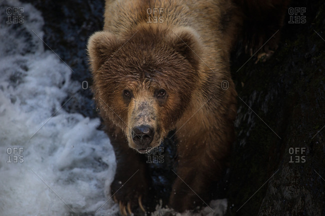 A kodiak bear looks up from the shore of a river