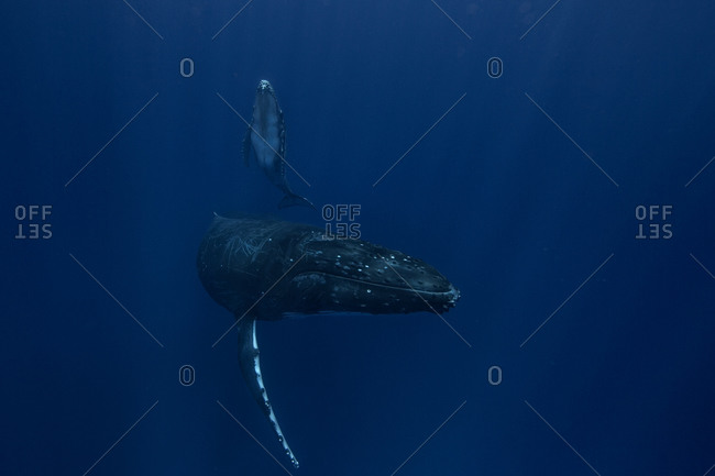 A humpback whale and her child glide through the ocean