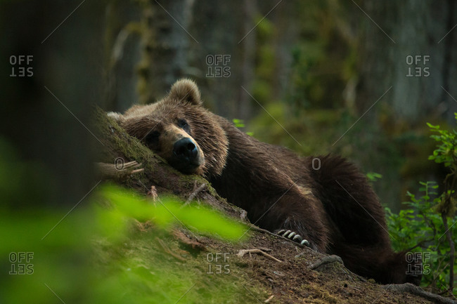 A bear rests on the mossy forest floor