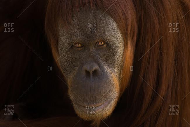 An orangutan looking curious