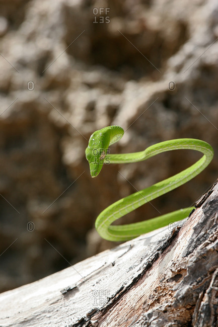 A vine snake coils to disguise himself