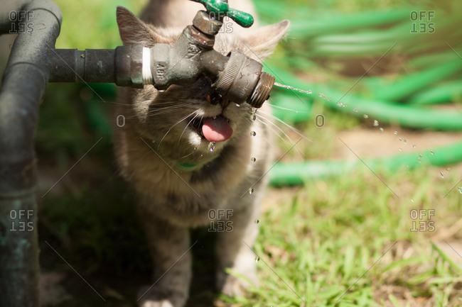 Cat drinking from a spigot