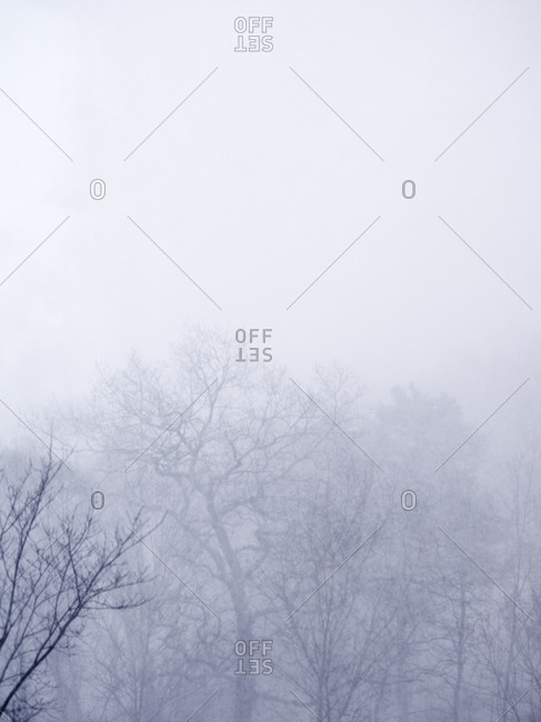 Bare trees in fog