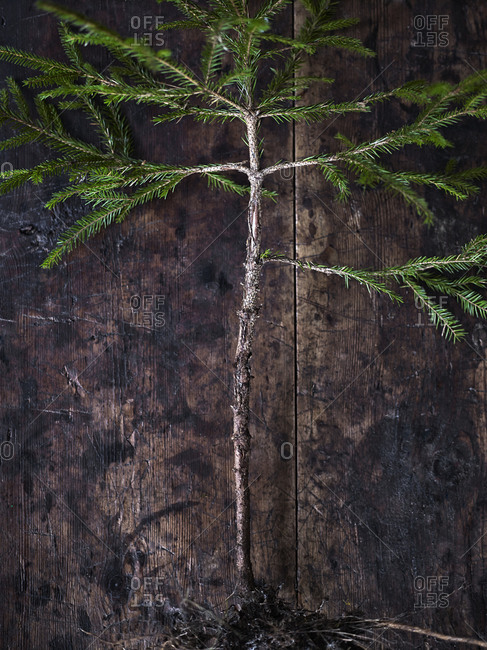 Coniferous tree on wooden background