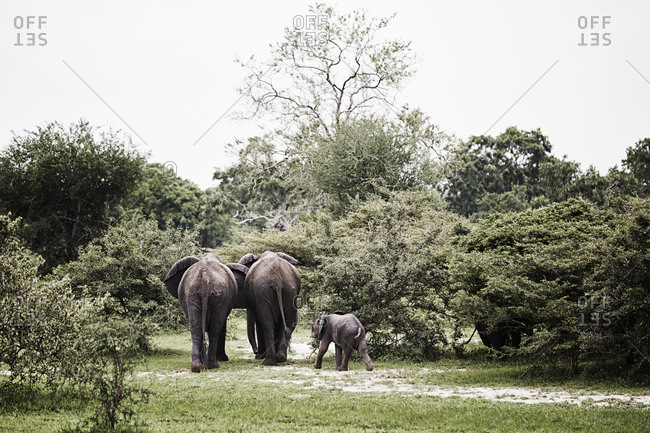 Family of elephants walking away