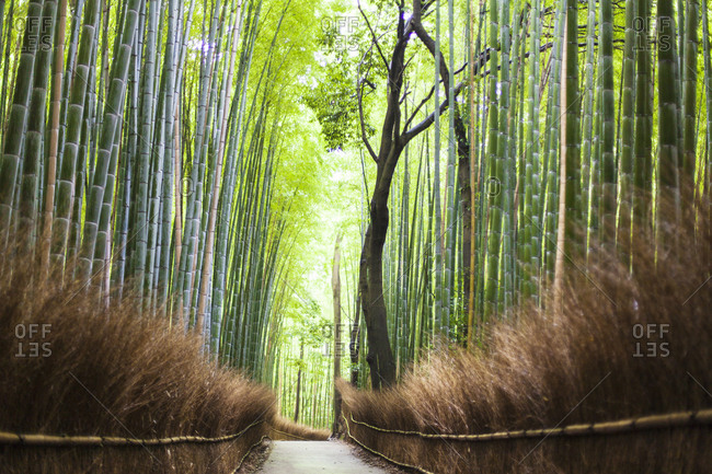 Footpath leading through bamboo forest
