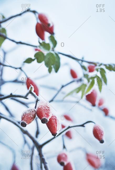 Rosehips at winter