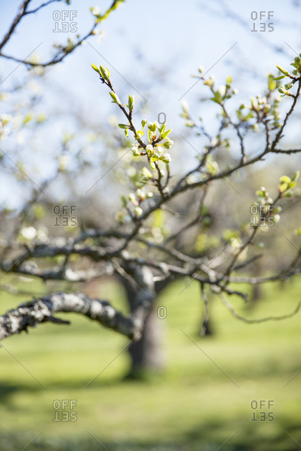 Tree branch with budding leaves